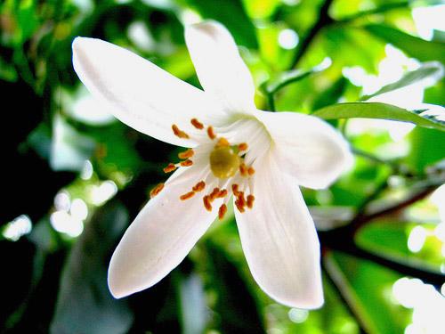 Además de bonita, la flor de azahar posee cualidades rejuvenecedoras de la piel.