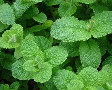 Las hojas de la menta tienen numerosas propiedades curativas.