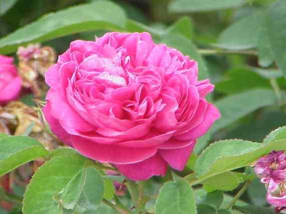 La Rosa damascena, con sus pétalos de rosa color intenso.